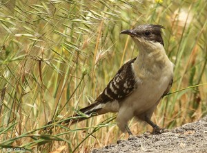 The Great Spotted Cuckoo Available from: http://ibc.lynxeds.com/photo/great-spotted-cuckoo-clamator-glandarius/ground